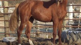 Chestnut Arabian in aberdeen, SD