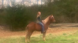Sorrel Tennessee Walker in Forsyth, GA