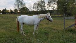 Appaloosa Horses for Sale - Equine com