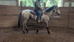Grey Appaloosa in Enumclaw, WA