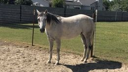Grey Quarter Horse in Rosedale, MS