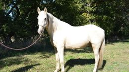 Palomino Missouri Fox Trotting Horse in Mobile, AL