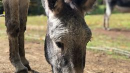 Silver Dapple Donkey in South Acworth, NH