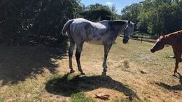 Grey Thoroughbred in Martinsburg, WV