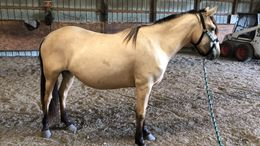 Buckskin Quarter Horse in Fisher, MN