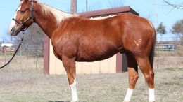 Chestnut Quarter Horse in Philadelphia, PA