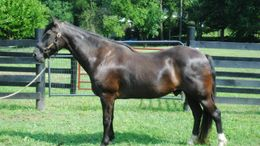 Black Tennessee Walker in Lovettsville, VA