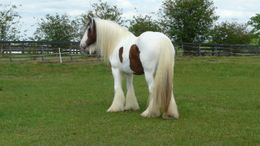 Bay Gypsy Vanner in Brooksville, FL