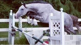 Grey Thoroughbred in Southbury, CT