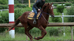 Chestnut Thoroughbred in Arvilla, ND