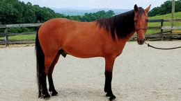 Bay Tennessee Walker in Ball Ground, GA