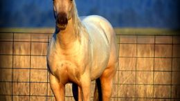 Palomino Quarter Horse in mead, WA