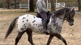 Black Appaloosa in Grand Forks, ND
