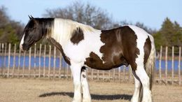 Other Gypsy Vanner in Topeka, KS