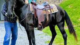 Black Tennessee Walker in Howard, PA