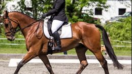 Bay Canadian Sport Horse in Ocala, FL