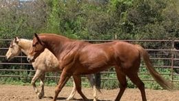Chestnut Thoroughbred in Murrieta, CA