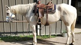 Palomino Quarter Horse in Cambridge, OH