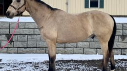 Buckskin Welsh Pony in northfield, MA