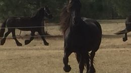Black Friesian in blowing rock, NC