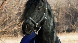 Black Friesian in East Springfield, NY