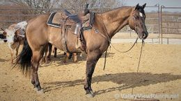 Grulla Quarter Horse in Dallas, TX
