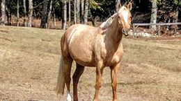 Palomino American Warmblood in GREENSBORO, GA