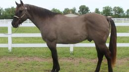 Grulla Quarter Horse in DenverDenver, CO