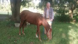 Bay Tennessee Walker in Loxahatchee, FL