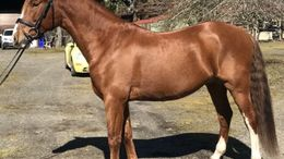 Chestnut Andalusian in Canby, OR