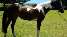 Bay Paint (Tobiano) in Frederick, MD