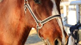 Chestnut Andalusian in Acton, CA
