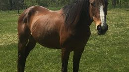 Bay Quarter Horse in Welch, MN