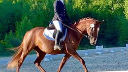 Chestnut Arabian in Barrington, NH