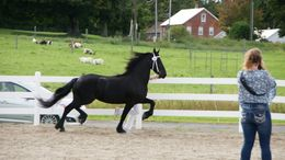 Friesian Horses for Sale - Equine com