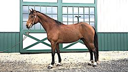 Roan Quarter Horse Cross in Farmingdale, NJ