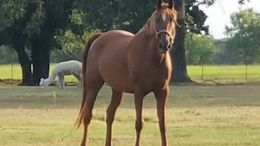 Sorrel American Saddlebred in Wills Point, TX