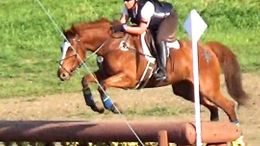 Chestnut American Warmblood in Oakland, CA