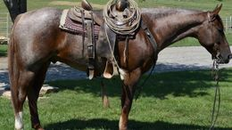 Roan Quarter Horse in Manhattan, KS