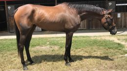 Brown Thoroughbred in Indiantown, FL