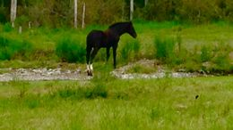 Black American Warmblood in Parkely, VA