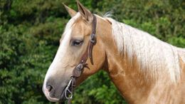 Palomino Quarter Horse in Billings, MT