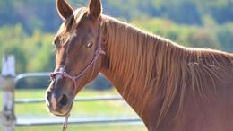 Chestnut Tennessee Walker in Derwood, MD