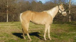 Palomino Quarter Horse in Portland, OR