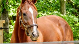 Chestnut Thoroughbred in West Newbury, MA