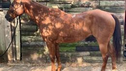 Chestnut Quarter Horse in Nashville, TN
