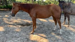 Sorrel Quarter Horse in Chmois, MO