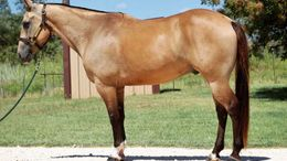 Buckskin Quarter Horse in Mobile, AL