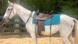Grey Tennessee Walker in Hampton, GA