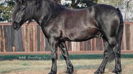 Black Friesian Cross in Lehighton, PA